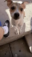 Jack Russell Terrier Puppies for sale in Tucson, AZ, USA. price: NA
