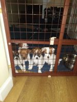 Jack Russell Terrier Puppies for sale in Pawtucket, RI, USA. price: NA