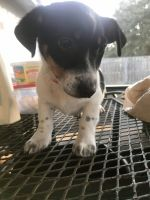 Jack Russell Terrier Puppies for sale in Kingsland, GA, USA. price: NA