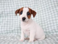 Jack Russell Terrier Puppies for sale in Helena, MT, USA. price: NA