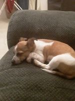 Jack Russell Terrier Puppies for sale in Goldsboro, NC 27530, USA. price: NA