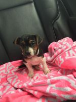 Jack Russell Terrier Puppies for sale in Havre De Grace, MD 21078, USA. price: NA