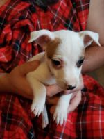 Jack Russell Terrier Puppies for sale in Hot Springs, AR, USA. price: NA