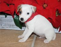 Jack Russell Terrier Puppies for sale in 114-34 121st St, Jamaica, NY 11420, USA. price: NA