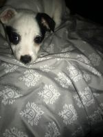 Jack Russell Terrier Puppies for sale in Vallejo, CA, USA. price: NA