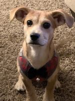 Jack Russell Terrier Puppies for sale in North Charleston, SC, USA. price: NA