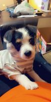 Jack Russell Terrier Puppies for sale in Wichita Falls, TX, USA. price: NA