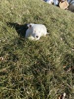 Jack Russell Terrier Puppies for sale in 8643 Alyce St, Franklin, OH 45005, USA. price: NA