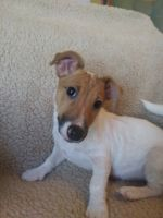Jack Russell Terrier Puppies for sale in Dunnellon, FL, USA. price: NA