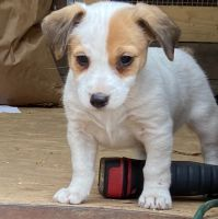 Jack Russell Terrier Puppies for sale in Sasakwa, OK 74867, USA. price: NA