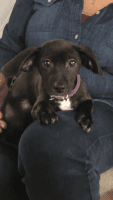 Jack Russell Terrier Puppies for sale in Gaithersburg, MD, USA. price: NA