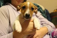 Jack Russell Terrier Puppies for sale in 1670 W Burt Rd, Montrose, MI 48457, USA. price: NA