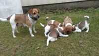 Jack Russell Terrier Puppies for sale in 656 Lauschtown Rd, Denver, PA 17517, USA. price: NA