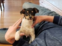 Jack Russell Terrier Puppies for sale in West Bend, IA 50597, USA. price: NA