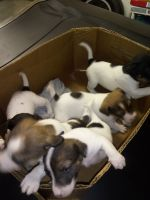 Jack Russell Terrier Puppies for sale in Macon, GA, USA. price: NA