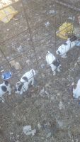 Jack Russell Terrier Puppies for sale in Kerrville, TX 78028, USA. price: NA