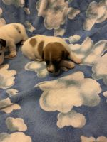 Jack Russell Terrier Puppies for sale in Union, KY, USA. price: NA