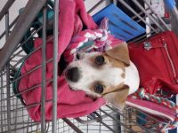 Jack Russell Terrier Puppies for sale in New Caney, TX 77357, USA. price: NA