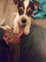 Jack Russell Terrier Puppies for sale in Jacksonville, AR, USA. price: NA