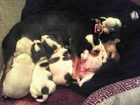 Jack Russell Terrier Puppies for sale in Newton, MS 39345, USA. price: NA