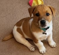 Jack Russell Terrier Puppies for sale in Dorchester, Boston, MA, USA. price: NA