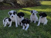 Jack Russell Terrier Puppies for sale in Fortuna, CA 95540, USA. price: NA