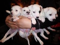 Jack Russell Terrier Puppies for sale in 16533 Old Glenn Hwy, Chugiak, AK 99567, USA. price: NA