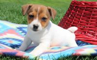 Jack Russell Terrier Puppies for sale in Sacramento Northern Bikeway, Sacramento, CA, USA. price: NA