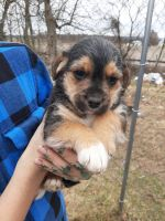 Jack Russell Terrier Puppies for sale in 1518 Rowe Rd, Shippensburg, PA 17257, USA. price: NA
