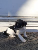 Jack Russell Terrier Puppies for sale in Howe, IN 46746, USA. price: NA