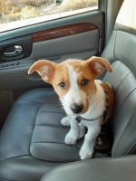 Jack Russell Terrier Puppies for sale in Albuquerque, NM, USA. price: NA