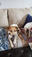 Jack Russell Terrier Puppies for sale in Glen Burnie, MD 21060, USA. price: NA