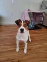 Jack Russell Terrier Puppies for sale in Jacksonville, NC, USA. price: NA