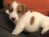 Jack Russell Terrier Puppies for sale in South Riding, VA 20152, USA. price: NA