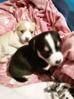 Jack Russell Terrier Puppies for sale in Manteca, CA, USA. price: NA