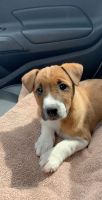 Jack Russell Terrier Puppies for sale in Davenport, IA, USA. price: NA