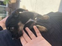 Jack Russell Terrier Puppies for sale in Rancho Cucamonga, CA, USA. price: NA