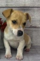 Jack Russell Terrier Puppies for sale in Charlottesville, VA, USA. price: NA