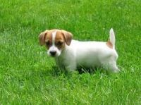 Jack Russell Terrier Puppies for sale in 1354 N G St, San Bernardino, CA 92405, USA. price: NA
