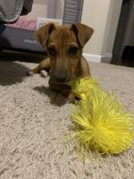 Jack Russell Terrier Puppies for sale in Vancouver, WA 98663, USA. price: NA