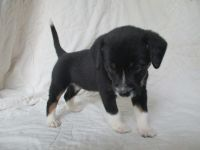 Jack Russell Terrier Puppies for sale in Richmond, KY 40475, USA. price: NA