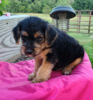 Jack Russell Terrier Puppies for sale in Nathalie, VA 24577, USA. price: NA