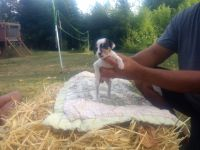 Jack Russell Terrier Puppies for sale in Berlin, CT, USA. price: NA