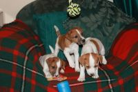 Jack Russell Terrier Puppies for sale in Tennessee City, TN 37055, USA. price: NA