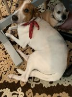 Jack Russell Terrier Puppies for sale in Katy, TX, USA. price: NA