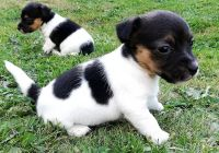 Jack Russell Terrier Puppies for sale in New Orleans, LA, USA. price: NA