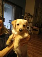 Jack Russell Terrier Puppies for sale in 21726 Roscoe Blvd, Canoga Park, CA 91304, USA. price: NA
