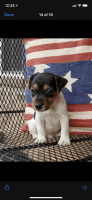 Jack Russell Terrier Puppies for sale in Summerville, SC, USA. price: NA