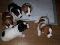 Jack Russell Terrier Puppies for sale in Henderson, KY 42420, USA. price: NA