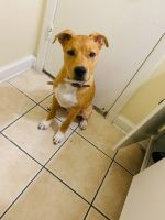 Jack Russell Terrier Puppies for sale in TEMPLE TERR, FL 33617, USA. price: NA